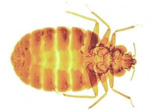 Bed Bug Control-Pest Control Leicester