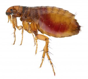 Flea Removal-Pest Control Leicester
