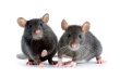 Mice removal-Pest Control Leicester