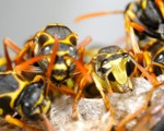 Wasp Nest Removal - Pest Control Leicester