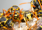 Wasp Nest Removal-Pest Control Leicester